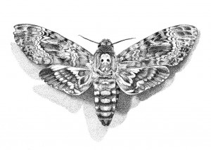 Death's head hawk moth copy